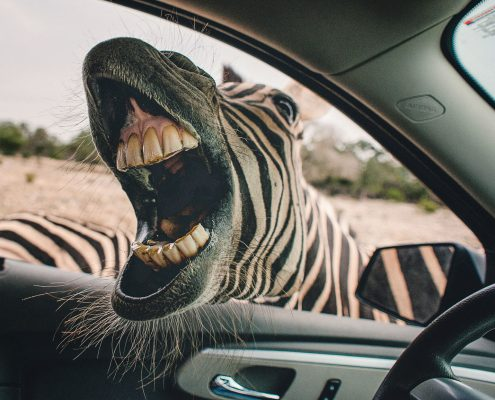 Zebra sticking head inside a car looking for food
