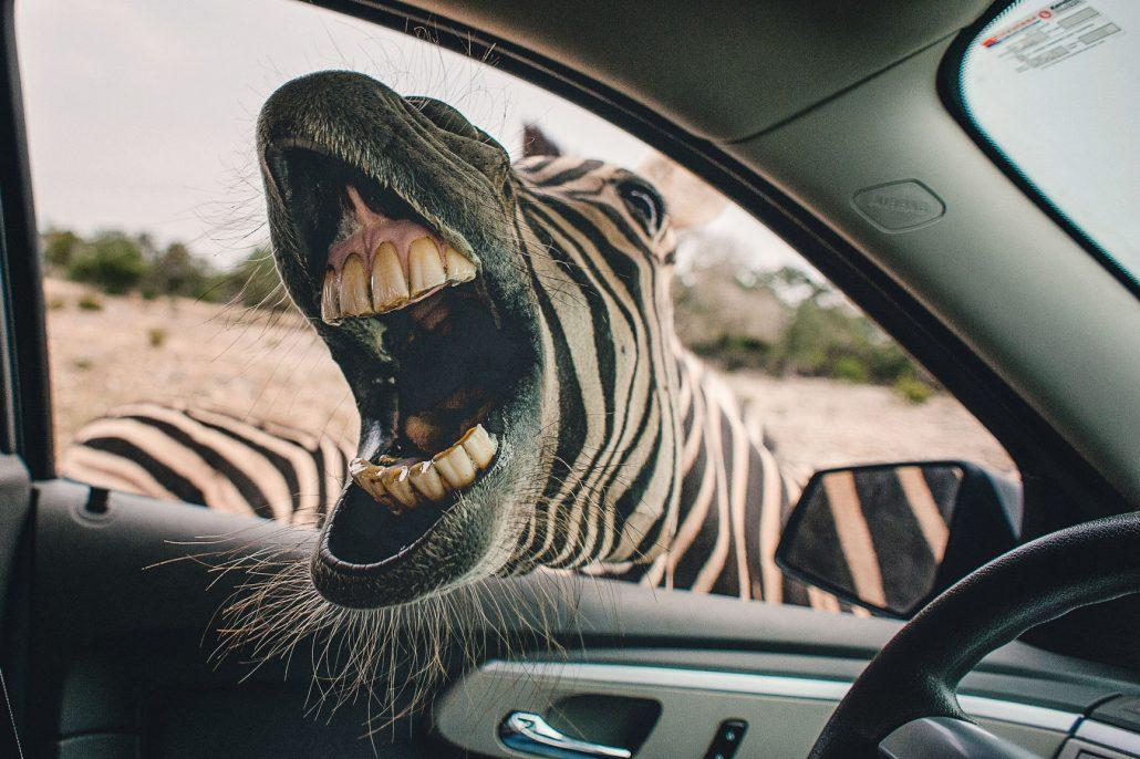Zähne von Zebra
